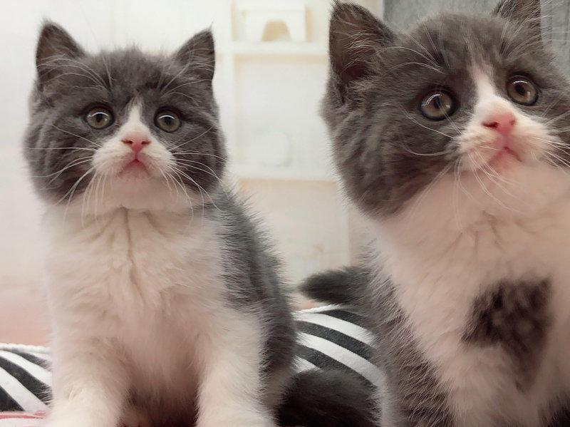 专业猫舍出售健康无病无癣的蓝猫宝宝