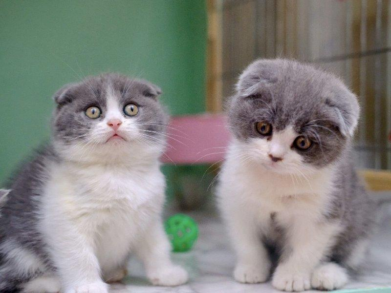 胖嘟嘟的折耳猫宝宝出售 专业繁育随时上门挑选