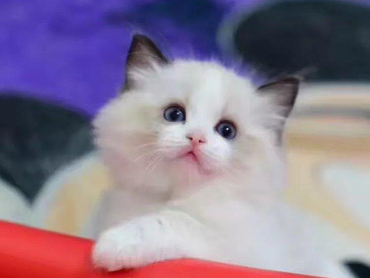 专业猫舍 出售纯种布偶猫 疫苗齐全 血统纯正送货上门