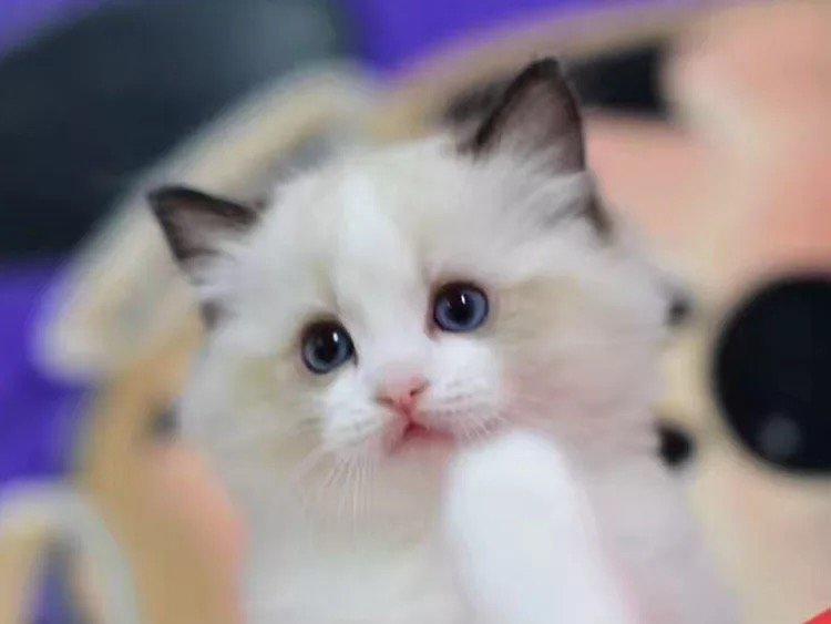 粘人的小布偶猫咪宝宝出售 无病无癣专业养殖猫咪宝宝
