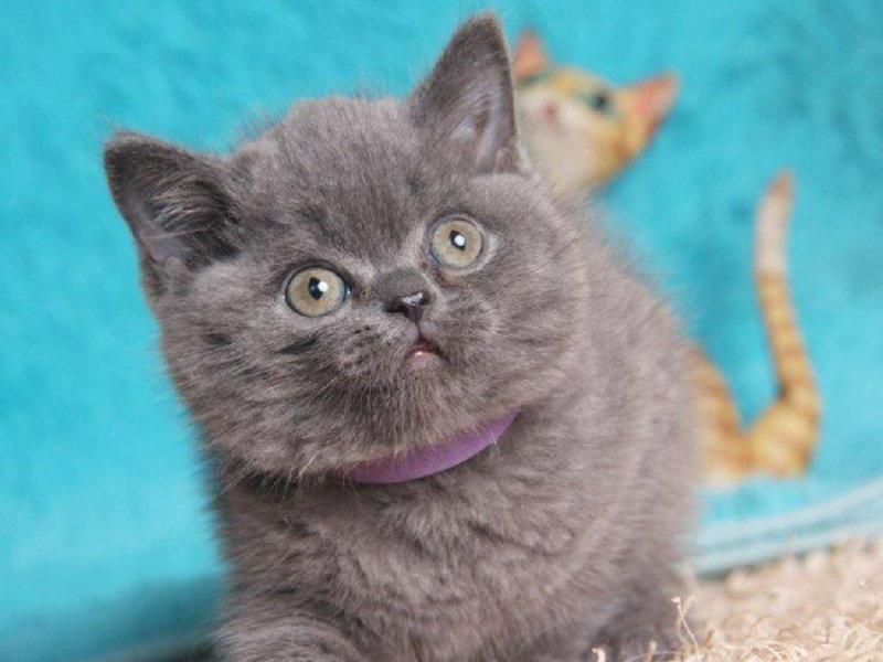 高品质纯种蓝猫宝宝寻新家 专业猫舍