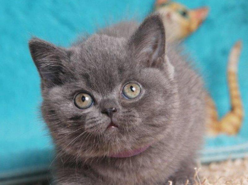 非常乖巧可爱的蓝猫宝宝出售