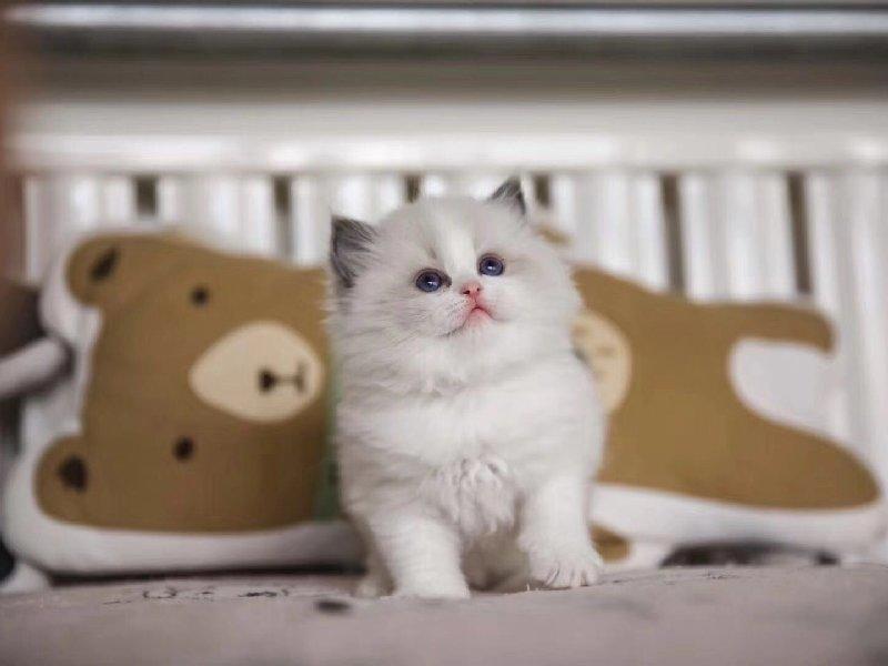 健康纯种的布偶猫咪宝宝出售 无病无癣专业猫舍繁育