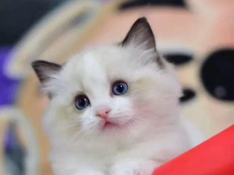 专业猫舍 出售健康的布偶猫咪 无病无癣签协议