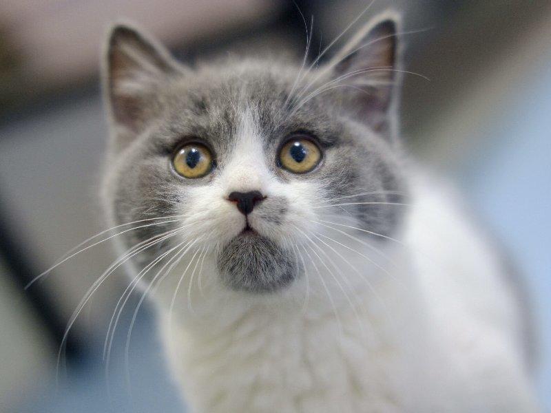 专业猫舍出售无病无菌高品质蓝猫宝宝