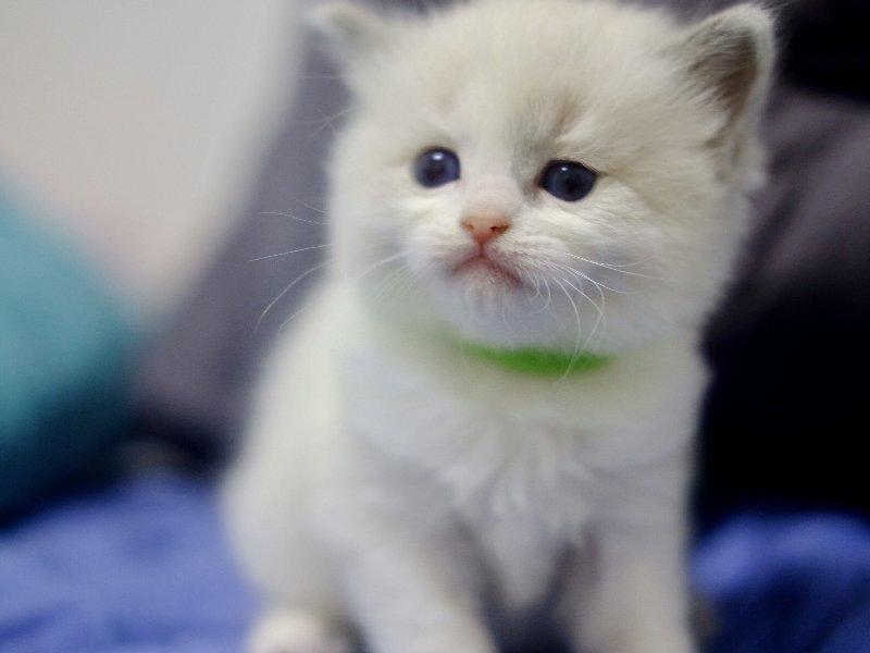 正规猫舍 出售健康纯种布偶猫咪 无病无癣 送货上门