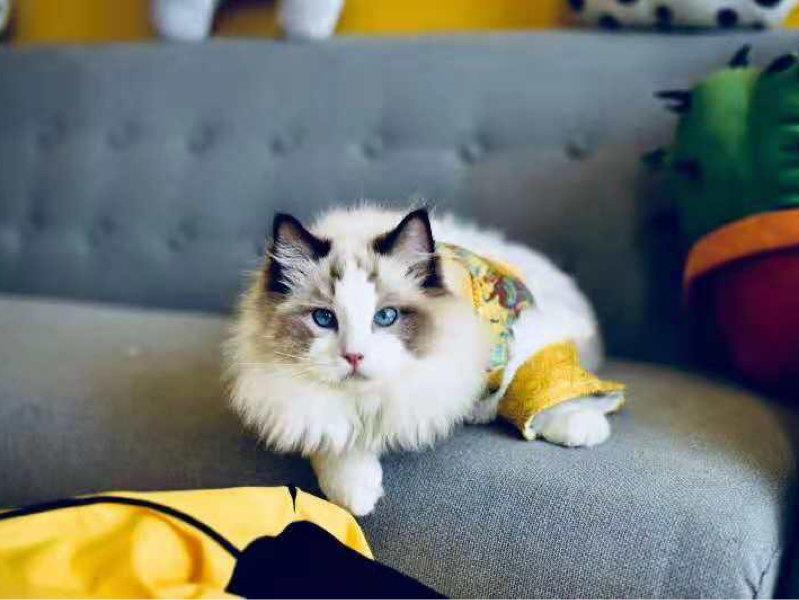 纯种健康的布偶猫咪宝宝出售