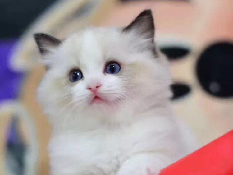 可爱 的萌萌的布偶猫宝宝出售 无病无癣 常年繁育各种猫咪