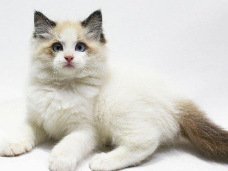 猫舍繁殖出售健康纯种的布偶猫宝宝 无病无癣签协议