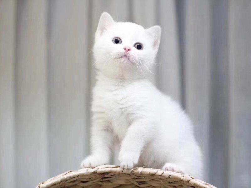 胖嘟嘟可爱的波斯猫宝宝出售 质保健康无体癣包活