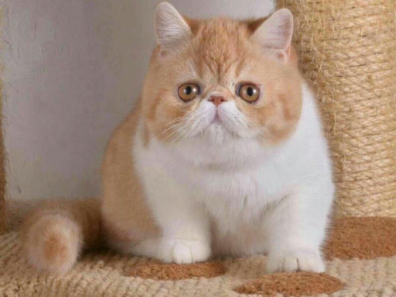 正规犬舍繁育 纯种健康的加菲猫 无病无癣 随时上门挑选