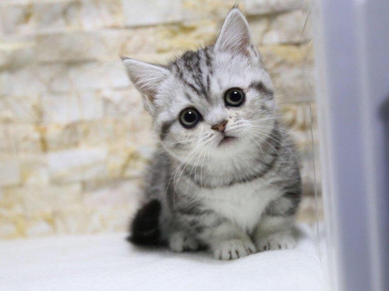 出售健康无病无癣 美国短毛猫咪宝宝 血统纯正签协议