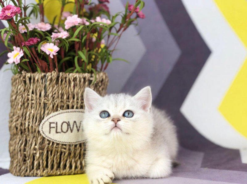 专业猫舍直销纯种健康的蓝猫宝宝 无病无癣 签协议