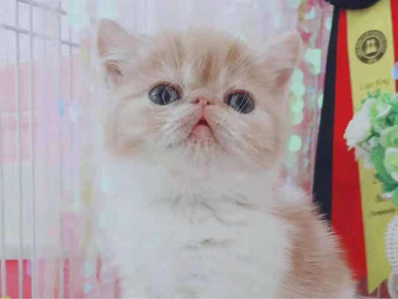 出售漂亮的加菲猫宝宝 无病无癣 终身质保