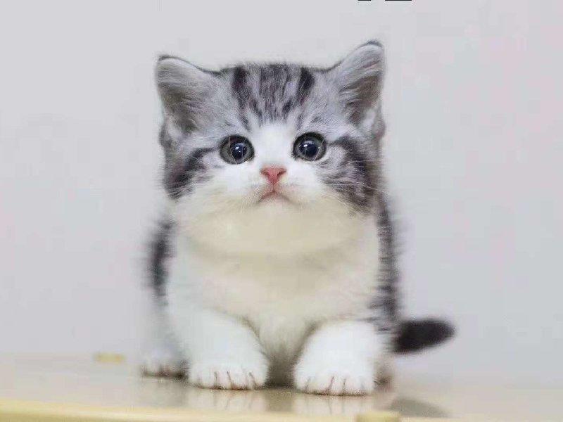 健康可爱的美国短毛猫咪待售中 无病无癣 专业繁殖