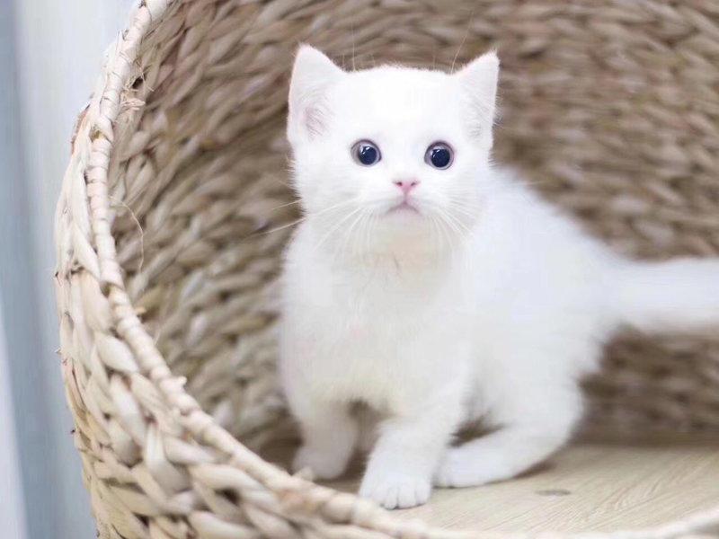出售健康无病无癣 波斯猫宝宝 送货上门哦