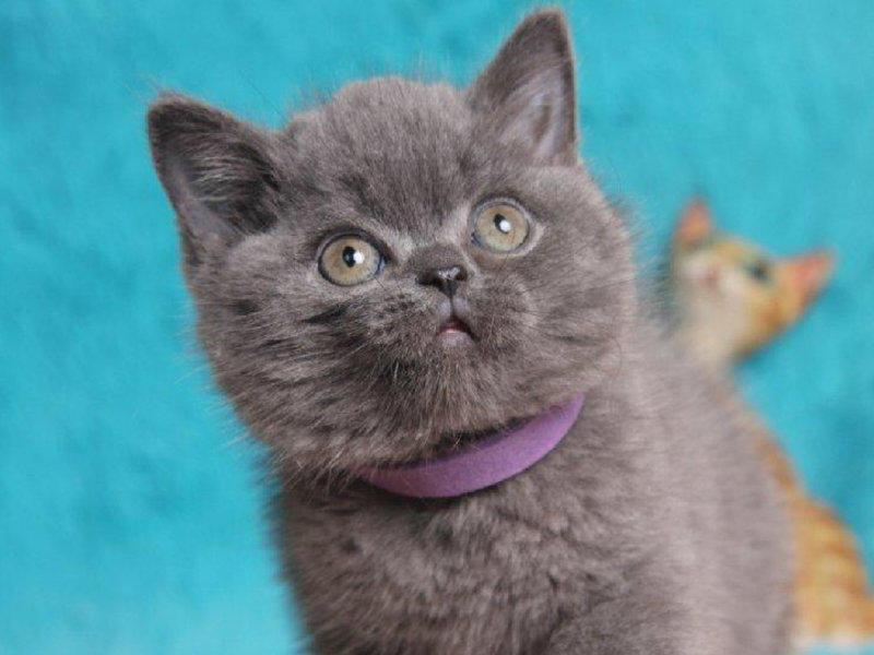 可爱乖巧的蓝猫宝宝出售 无病无癣 正规繁殖