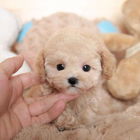 精品泰迪熊 苹果脸泰迪熊幼犬1