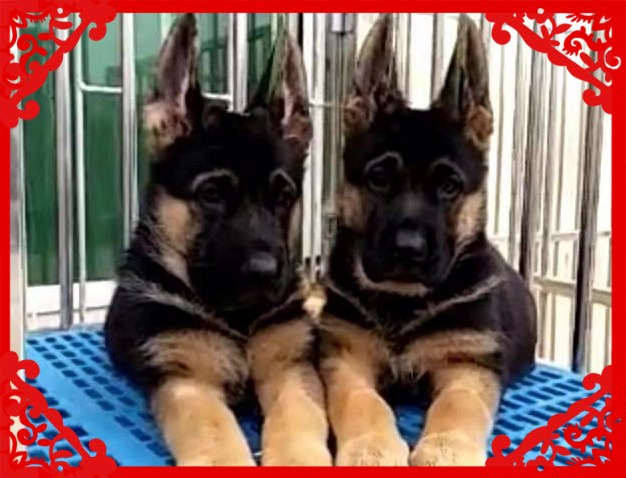 买纯种赛级德牧幼犬视频看狗 送狗上门 可签协议