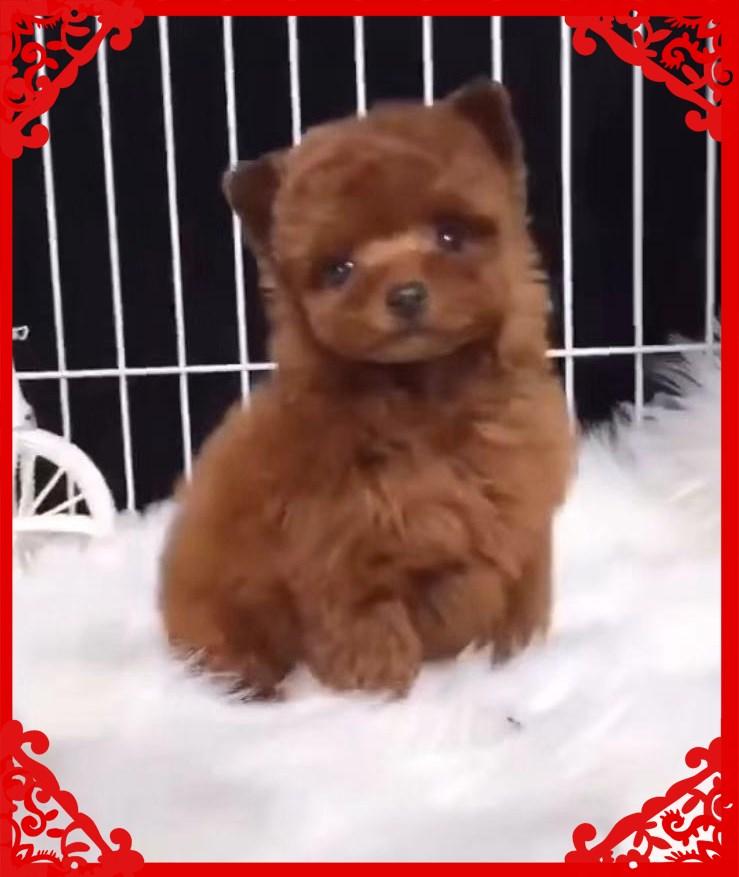 大眼睛脸型甜美各色各体型高品质泰迪熊 品质保证1