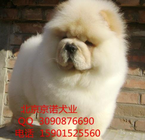 纯种松狮犬多少钱一只 白色松狮直销高品质松狮幼犬