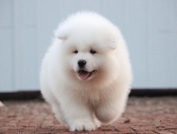 纯种萨摩耶 直销精品萨摩耶幼犬 三个月可包退换