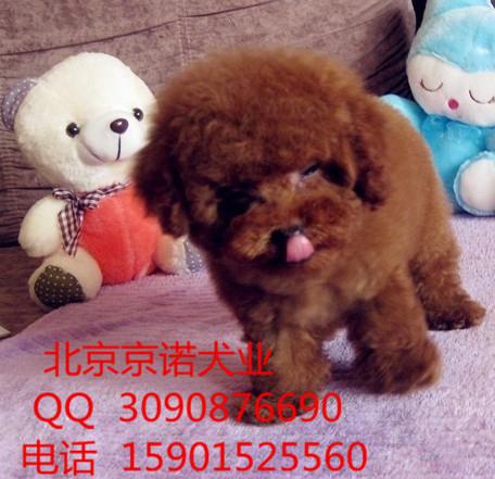 直销泰迪犬 北京泰迪犬舍 茶杯泰迪 专业繁育泰迪犬
