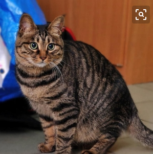 中华田园猫,纯种,双血统,三针疫苗,二次驱虫都做完。