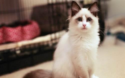 布偶猫,纯种,双血统,三针疫苗,二次驱虫都做完。
