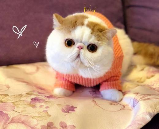 我要买猫 加菲猫 北京西城加菲猫  价钱 1000~3000元 品种 加菲猫