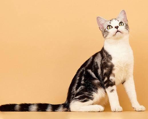 美国短尾猫,纯种,双血统,三针疫苗,二次驱虫都做完。