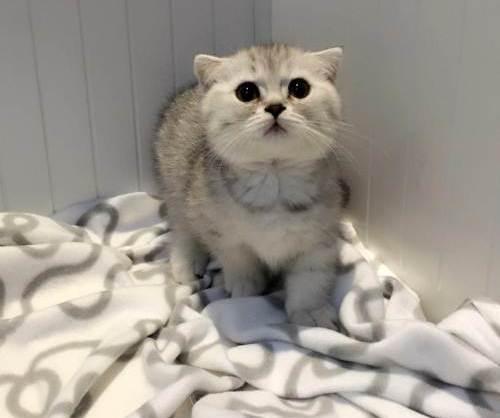 曼基康猫,纯种,双血统,三针疫苗,二次驱虫都做完。