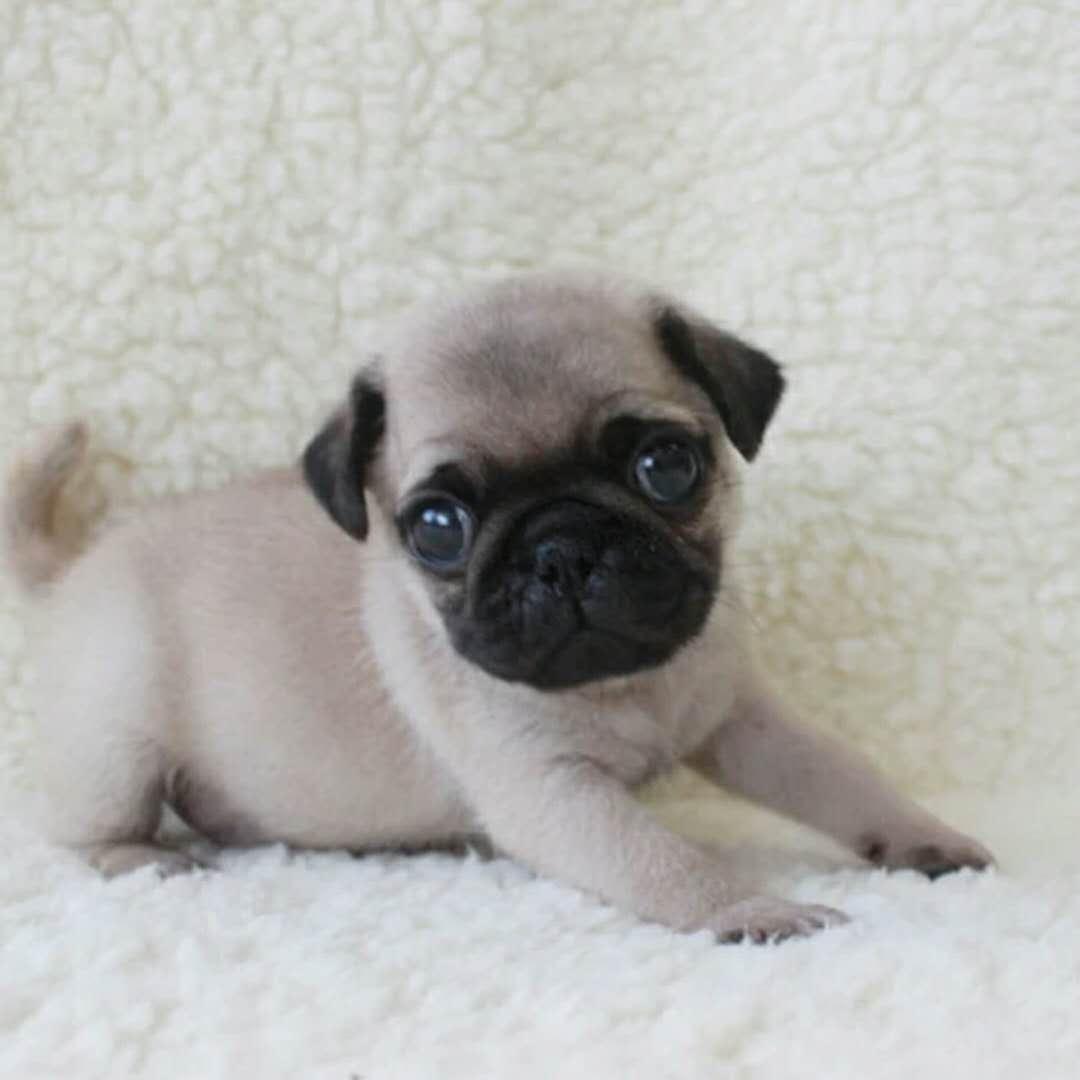 犬舍大量出售巴哥犬|带血统带证书|980/只|支持货到付款