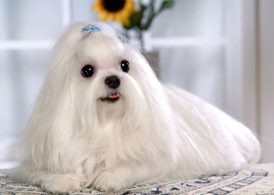 犬舍大量出售马尔济斯|带血统带证书|980/只|货到付款