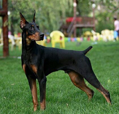 犬舍大量出售杜宾犬|带血统带证书|980/只|支持货到付款