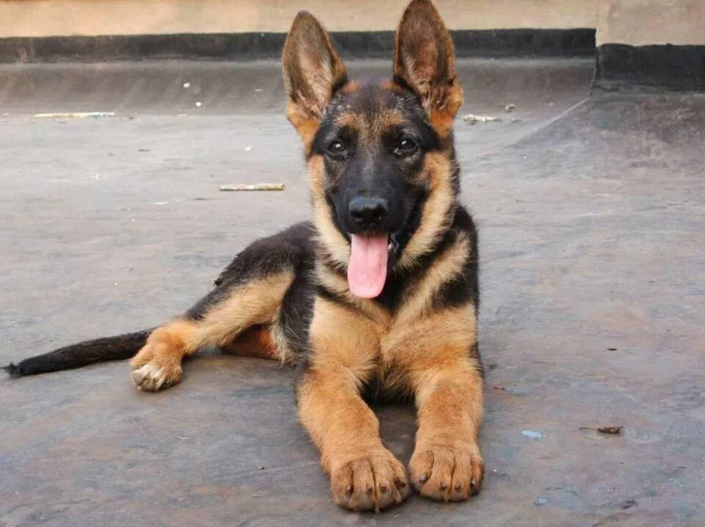 犬舍大量出售狼狗|带血统带证书|980/只|支持货到付款