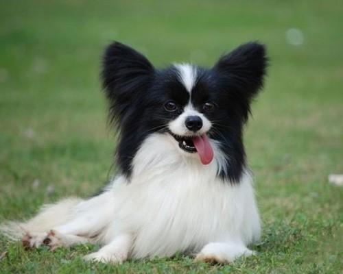 犬舍大量出售蝴蝶犬|带血统带证书|980/只|支持货到付款