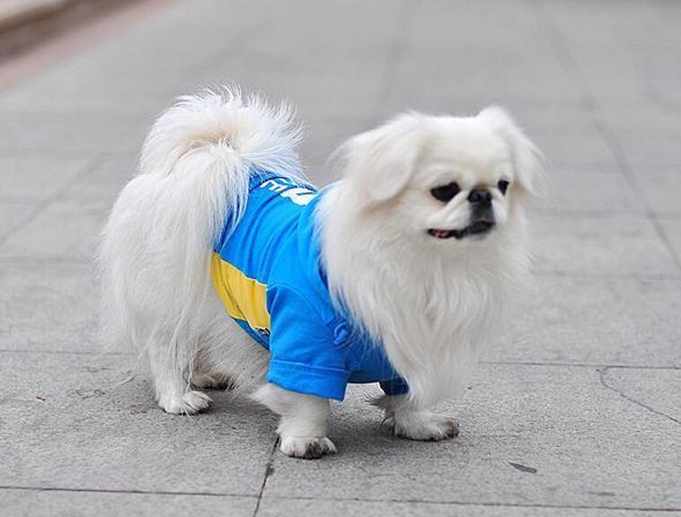 犬舍大量出售京巴犬|带血统带证书|980/只|支持货到付款