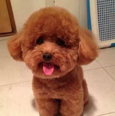 犬舍大量出售泰迪犬|带血统带证书|980/只|支持货到付款
