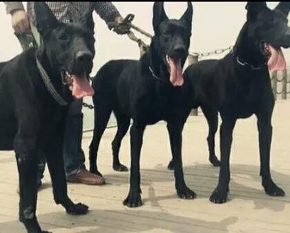 犬舍大量出售大丹犬|带血统带证书|980/只|支持货到付款