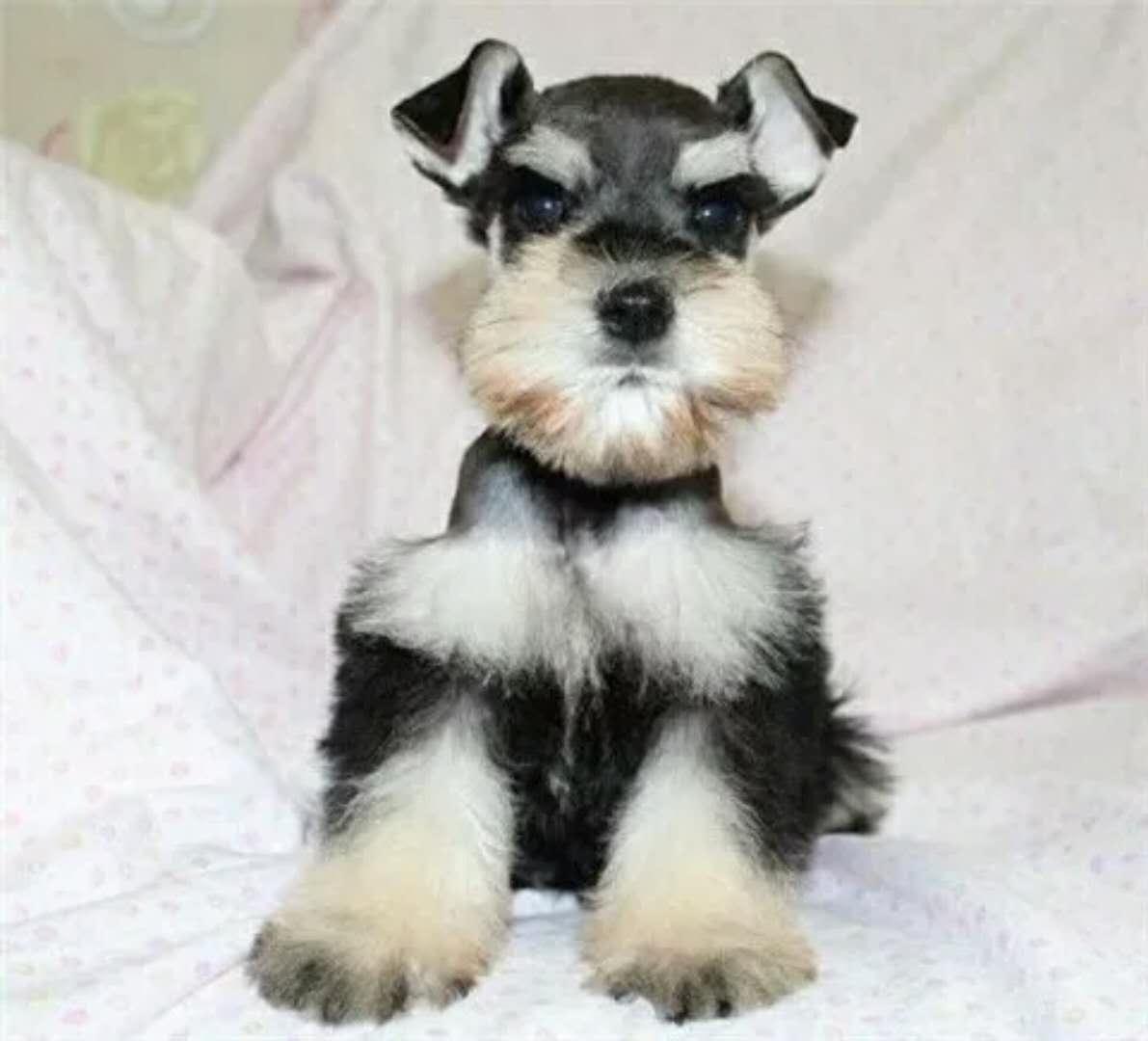 犬舍大量出售雪纳瑞|带血统带证书|980/只|支持货到付款