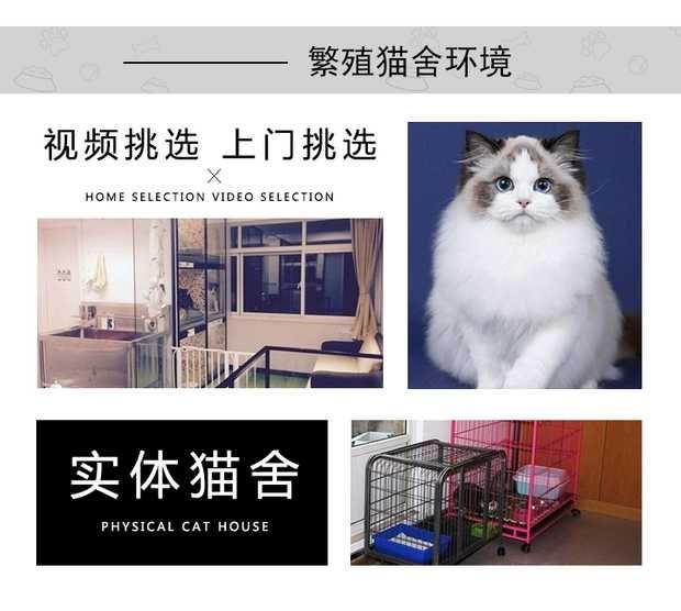 正规猫舍出售缅甸猫 正规商家 签订协议 包退换5