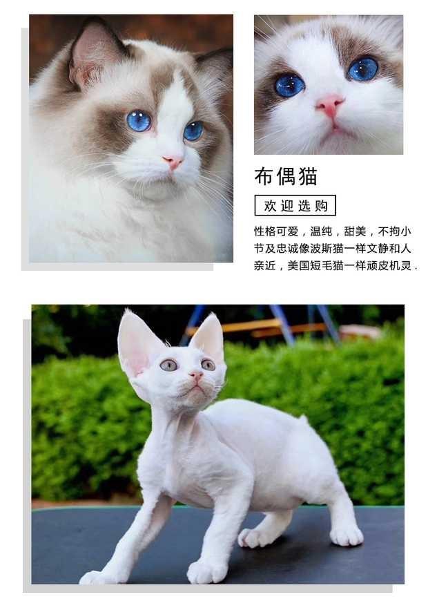 正规猫舍出售缅甸猫 正规商家 签订协议 包退换7