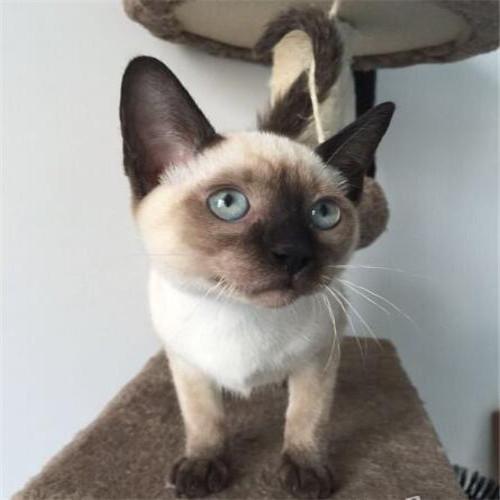 蓝眼暹罗猫多少钱一只 广东哪里有纯种暹罗猫卖