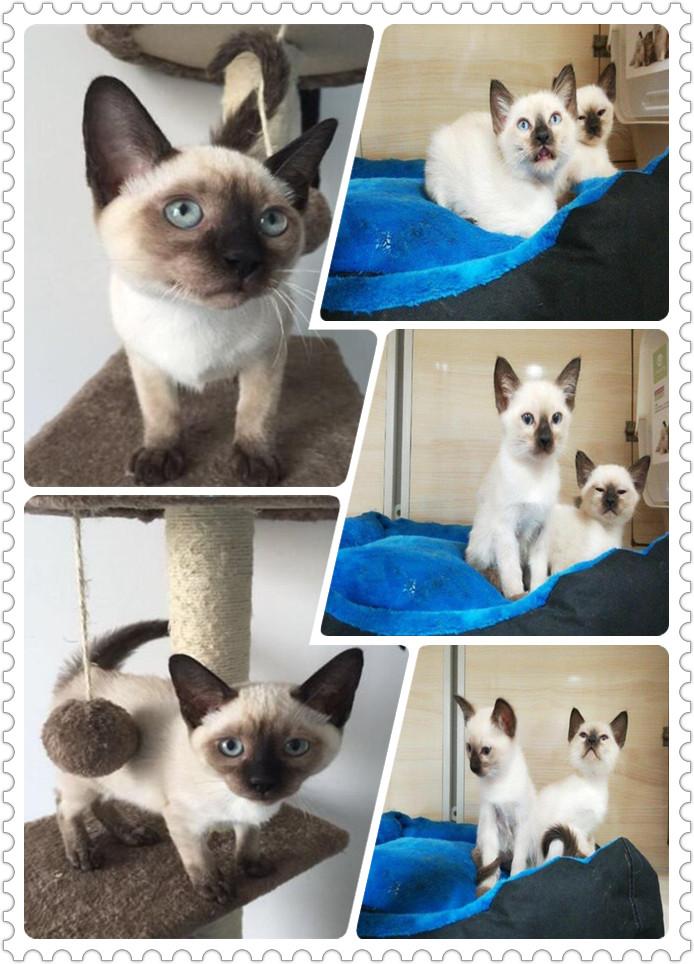 蓝眼精灵暹罗猫多少钱 纯种暹罗猫佛山猫舍繁殖出售