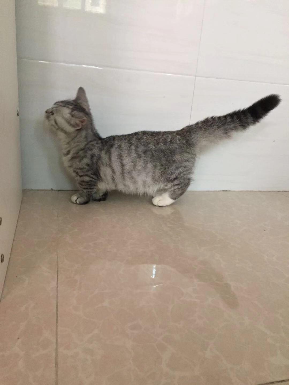 曼基康矮脚猫多少钱一只 曼基康矮脚猫哪里有售