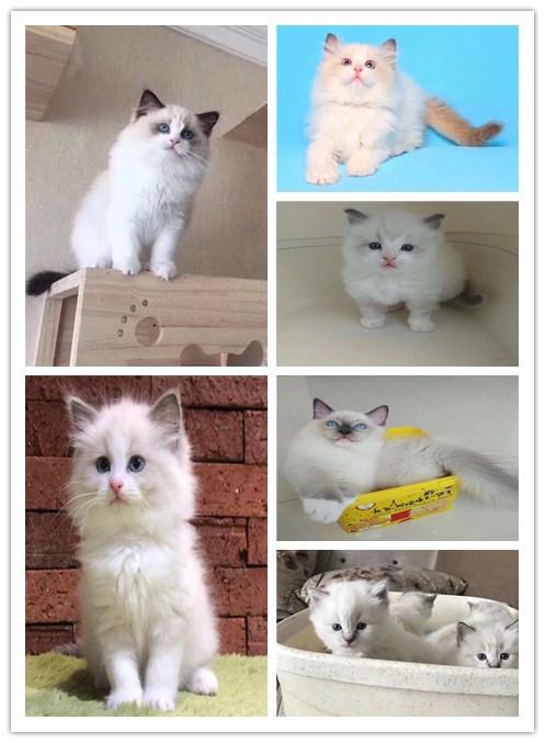 精品爆毛量布偶猫 佛山猫舍专业繁殖包纯种健康 签协议