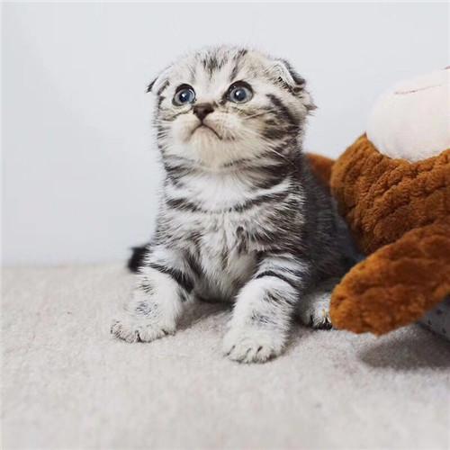 美国短毛猫多少钱一只 纯种虎斑美短 美短加白猫哪里有卖