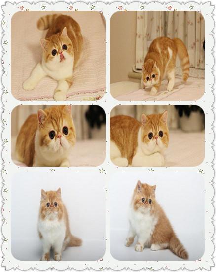 精品异国短毛加菲猫 哪里有卖加菲猫 加菲猫一只多少钱包健康