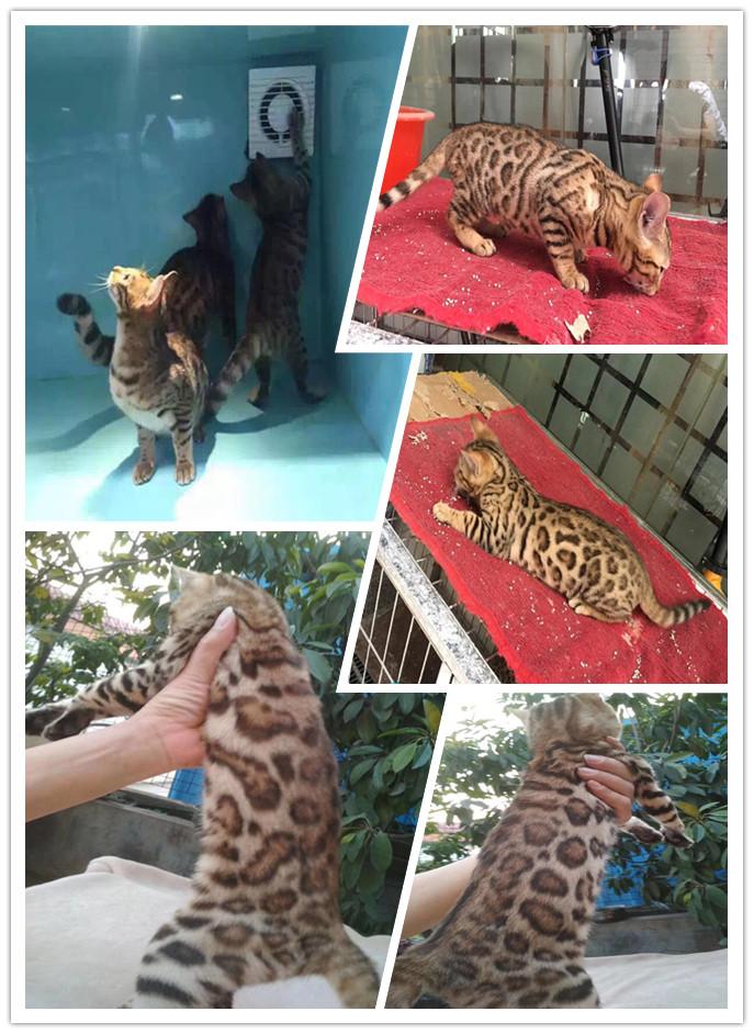 精品纯种豹猫佛山哪里有卖 孟加拉活体猫公母都有包养活